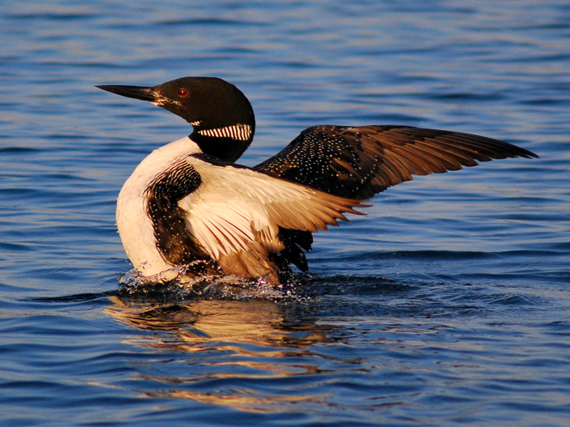 Minocqua Pontoon Cruises Loon sighting